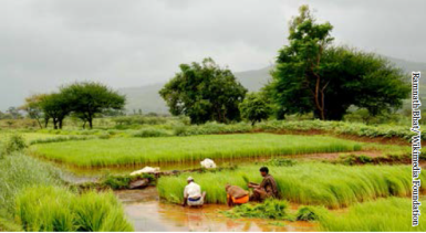 Paddy rice workers in rural India. Source: Ramnath Bhat/Wikimedia Foundation