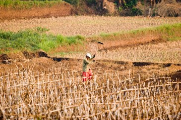 A farmer in the Bogor Regency of West Java, Indonesia ploughing a rice field during a drought. Due to lack of irrigation in rural areas, farmers who grow rain-dependent crops such as cucumbers, onions, and rice—staple foods in Indonesia—will be forced to delay planting or rely on other crops during droughts. Source: Danumurthi Mahendra