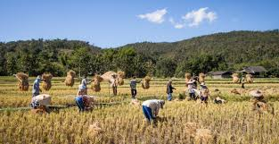 49% of Thailand's labor force is employed in agriculture. The majority work to produce rice, the main crop. Source: Wikimedia Commons