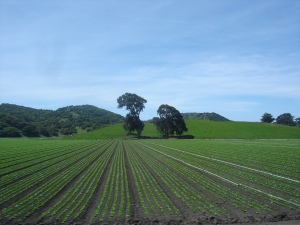 Rows of lettuce in the Salinas Valley. Source: BrendelSignature at English Wikipedia.