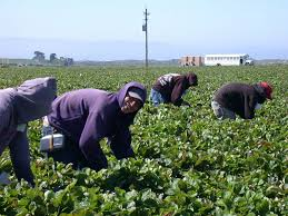 Workers in a strawberry field in the Salinas Valley. Source: Pixabay.